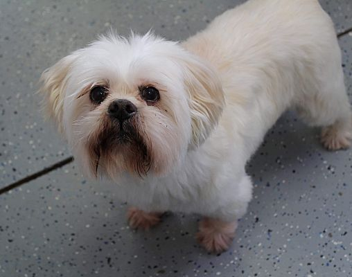 Urbana Oh Lhasa Apso Meet Preston Turner A Pet For Adoption