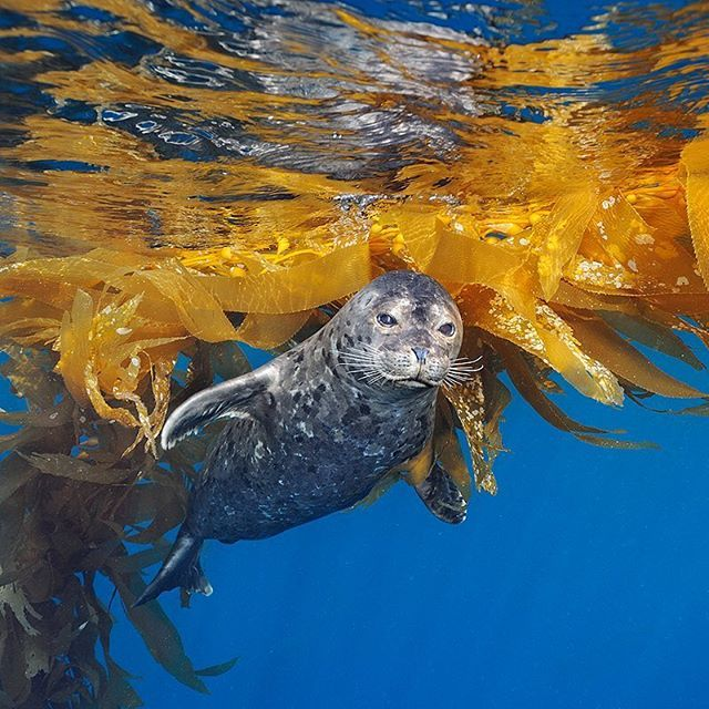 Photo by @BrianSkerry.  A harbor seal plays in kelp near the surface at Cortes Banks, a range of underwater mountains located 100-miles off the coast of San Diego, CA. This location, well known for stormy weather and giant waves, is a hotspot of biodiversity with an abundance of marine life found there. An upcoming story in @NatGeo will examine special places in US waters, like Cortes Banks.  @thephotosociety @natgeocreative