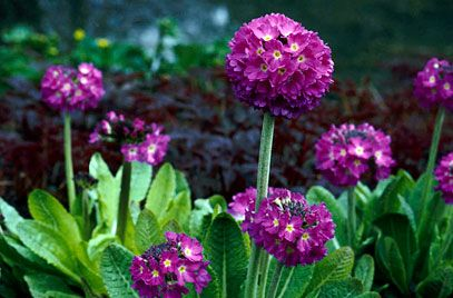 Primula denticulata - drumstick primula - this is a marginal bog plant, good for my northern boggy garden.