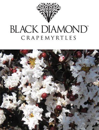 Black Diamond Crape Myrtle