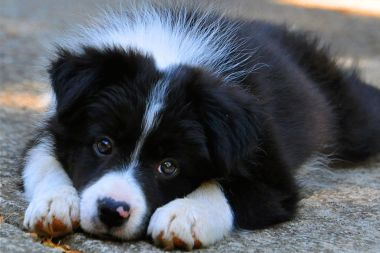 Border collie, what a sweet angel baby