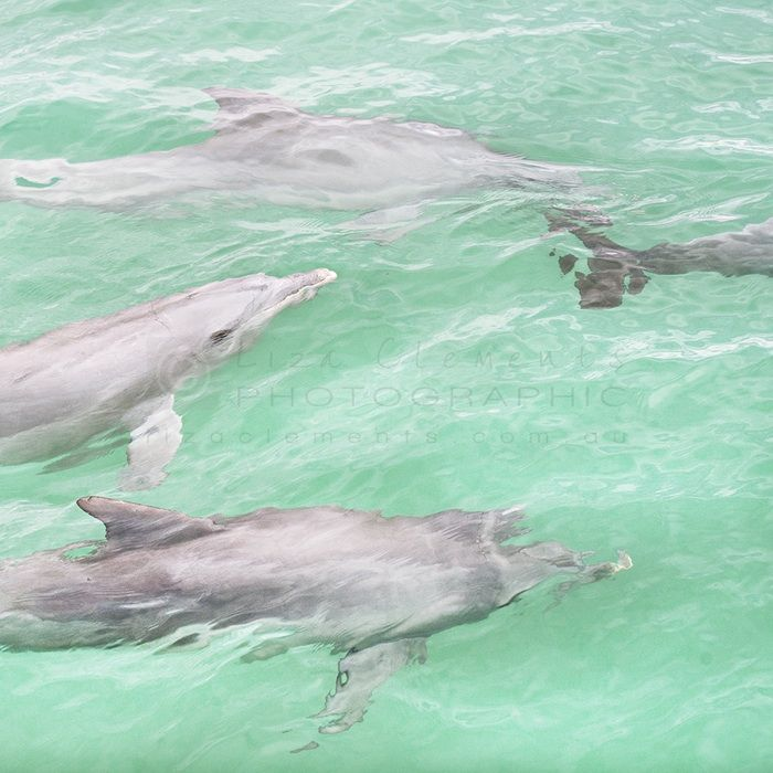 Dolphins at Monkey Mia© - Dolphins at Monkey Mia Monkey Mia, Western Australia 2015 Open Edition