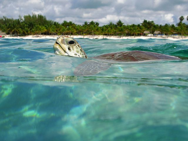Akumal has been a gem of the Riviera Maya, known for its turtle. Akumal Bay is one of the best snorkeling experiences you can have in the Mayan Riviera. Snorkel with the giant turtles, look for sting rays, barracudas, sardine fish boils and tunas. The majority of the turtles are about 200 to 300 yards from the shore in Akumal Bay, they feed on the underwater long grass.