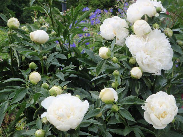 Versoja Vaahteramäeltä:kiinanpioni  Paeonia lactiflora ´Duchesse de Nemours`