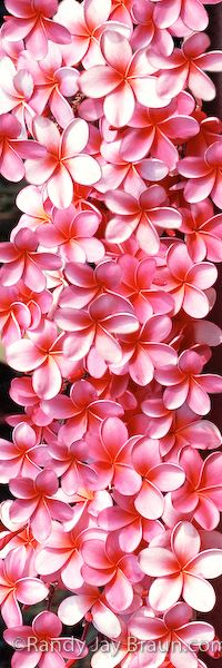 """""""Plethora Of Plumerias"""" #499  Plumeria flowers grow anywhere and everywhere in Hawaii. They blossom in bunches upon beautifully-shaped plumeria trees in many different colors."""