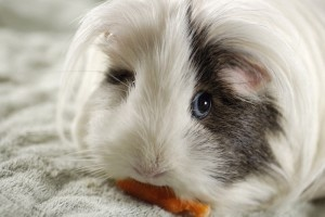 Cuddly And Funny Guinea Pigs