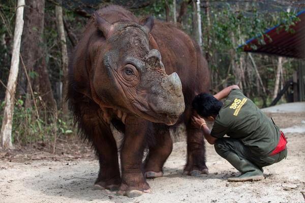 Снимки редчайшего суматранского носорога млекопитающие, носорог, Суматра, зоопарк, охрана природы, палеонтология, длиннопост
