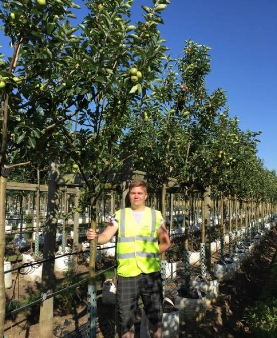 Buy Discovery Eating Apple Trees | Malus Discovery