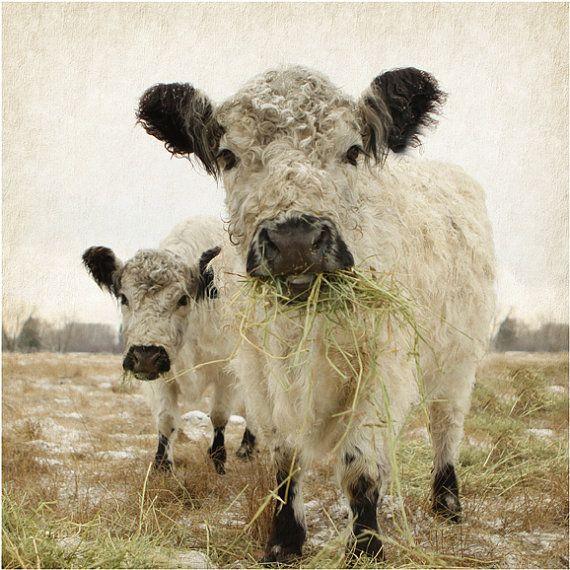 Cow Art Photo by lucysnowephotography