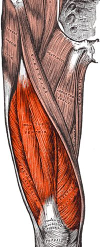 """The quadriceps femoris (Latin for """"four-headed muscle of the femur""""), also called simply the quadriceps, is a large muscle group that includes the four prevailing muscles on the front of the thigh. It is the great extensor muscle of the knee, forming a large fleshy mass which covers the front and sides of the femur (thigh bone).All four quadriceps are powerful extensors of the knee joint. They are crucial in walking, running, jumping and squatting."""