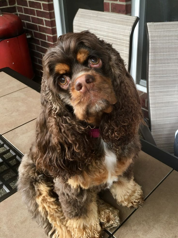 1435 best Cockers and Spaniels images on Pinterest ... Cocker Spaniel 60 Days Pregnant