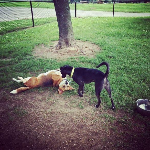 Belly rubs, please. - Liberty Dog Park - Liberty, MO - Angus Off-Leash #dogs #puppies #cutedogs #dogparks #liberty #missouri #angusoffleash