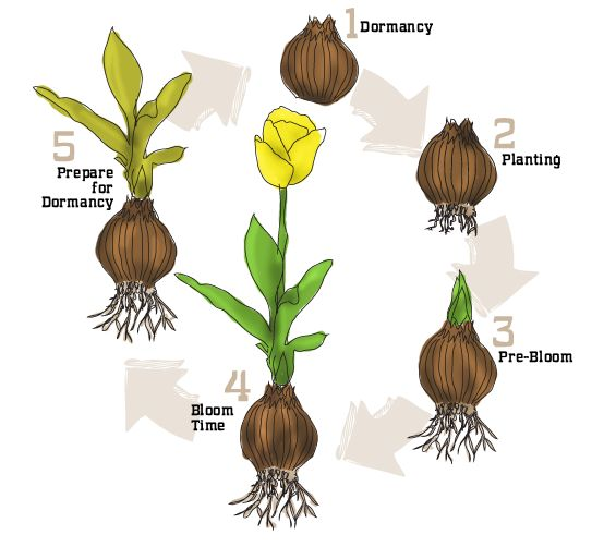 Life Cycle of a Flower Bulb