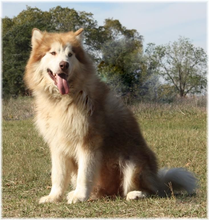 giant malamute, rare red/white puppies for sale, ok,tx,pa