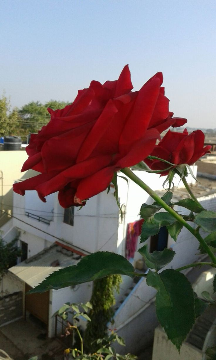 How to grow healthy roses? There are two important factors  See more (link: http://www.naturebring.com) naturebring.com
