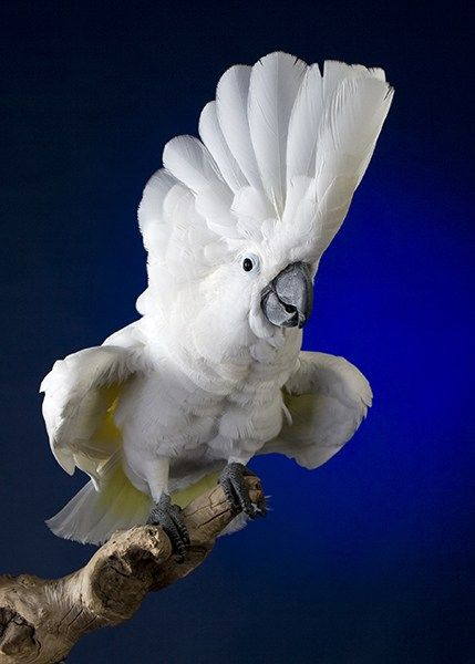 White Umbrella Cockatoo | Birds of a Feather Fl⊙ck 2gether ...