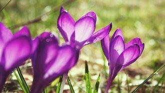 свет, сиреневые, фиолетовые, макро, блики, капли, цветы, растения, крокусы, весна