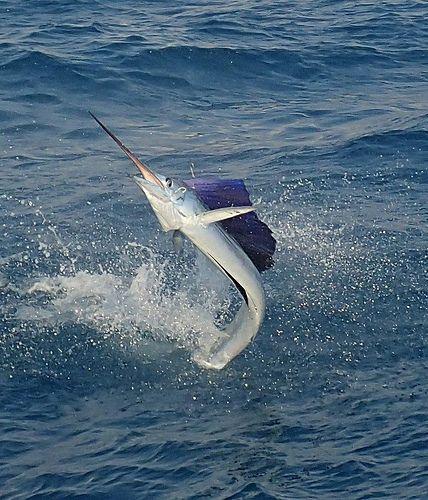 Sailfish in Flight