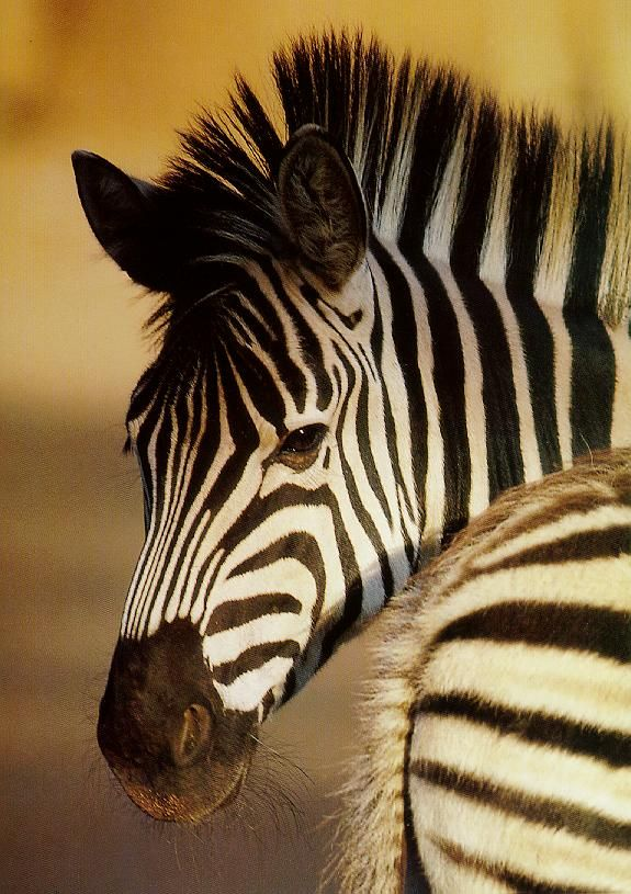 zebra#Repin By:Pinterest++ for iPad#