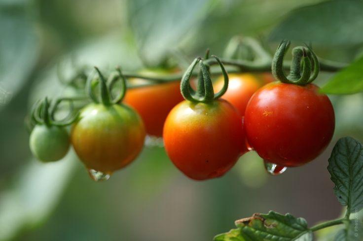 Hoje podemos conhecer todos os benefícios que o tomate pode nos trazer, ele é um alimento muito importante para prevenir muitos