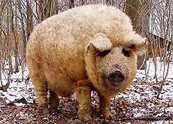 Hungarian Mangalitsa Pigs  Мангалица имеет толстые длинные светлые волосы, похожие на шерсть зимой, и превращающиеся весной в белую, блестящую, завивающуюся щетину. Шкура вокруг глаз и рыла черного цвета.  Эта порода свиней Венгерская Мангалица, была выведена в 1833 г. венгерским королевским эрцгерцогом Йозефом, скрестив дикую свинью и домашнюю. Не менее 40% породы - имеют корни диких предков