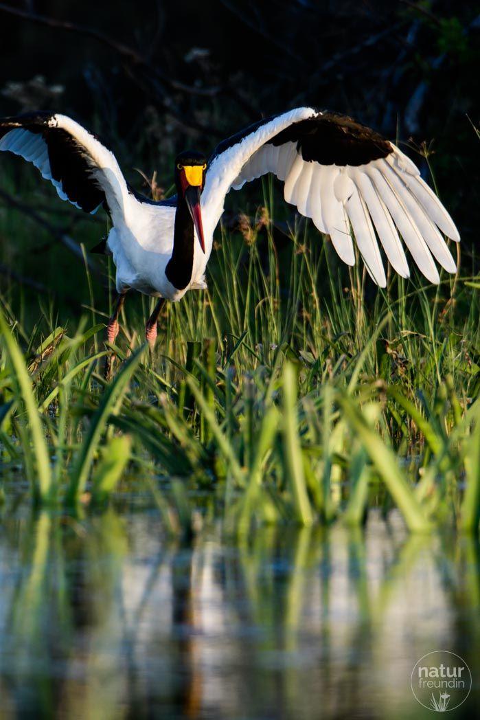 Der Sattelstorch (saddle-billed stork) musste natürlich genau dann abheben, als ich im Hochformat fotografierte :-). Nachdem der schöne Vogel vorher geduldig Modell stand, kann ich mich nicht beklagen.