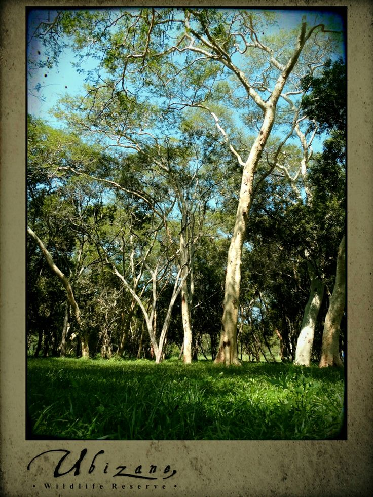 Fever Tree forest belt that runs through our reserve