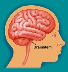 The brainstem is the region of the brain that connects the cerebrum with the spinal cord. It consists of the midbrain, medulla oblongata, and the pons. Motor and sensory neurons travel through the brainstem allowing for the relay of signals between the brain and the spinal cord. The brainstem coordinates motor control signals sent from the brain to the body. The brainstem also controls life supporting autonomic functions of the peripheral nervous system.