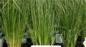 Poyntons Nursery| Proven performers, plant, Lomandra Lime Wave