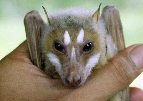 A rare flying fox bat discovered in the Philippines -- COOL!!