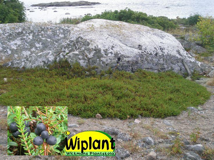 Empetrum nigrum, kråkbär. Lågt vintergrönt ris med barrlika blad. Oansenliga blommor. Svarta ätliga bär. Stammen är ofta uppstigande, men inte rotslående. Blommorna är tvåkönade, med både ståndare och pistill.