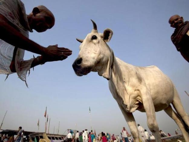 Корова в Индии - это священной животное, она является воплощением изобилия. Индусы наблюдали за всеми животными и за всем вокруг и заметили что корова, как и матушка Земля приносит свои дары...