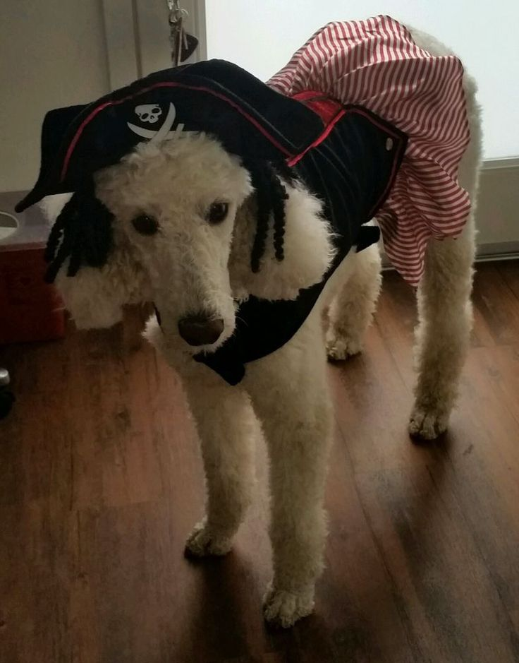 "Petco Female Dog Pirate Costume Size XL (19""'-21"") New w/ Tags MSRP $24.99 in Pet Supplies, Dog Supplies, Costumes 