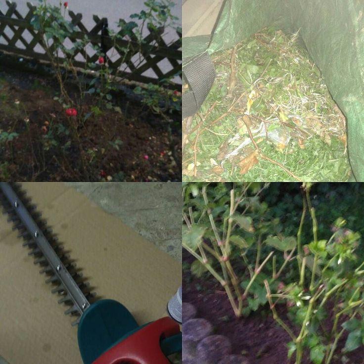 Heute herbstliche  Gartenarbeit. Hecke geschnitten Rasen gemäht Stauden und Rosen um gepflanzt. Jetzt Feierabendbier und dann Tatort im Ersten. . . . . . . . #gardening #garten #garden #herbst #autumn #rose #flowers #roses #blumen #gartenarbeit #urbangardening #hecke #hedge #sunday #sonntag #herbsttag #autumnday #goodevening #gutenabend #freibier #feierabendbier #tatort #ard #daserste
