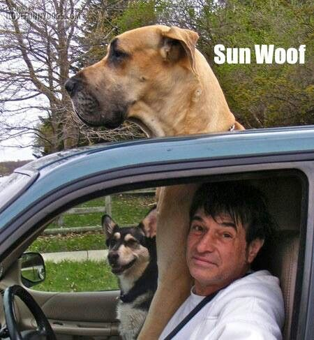 Funny Great Dane Dog Sun Roof Meme | Funny Joke Pictures: Great Danes, Hilarious Memes, Funny Dogs, English Mastiff, Funny Jokes, Sun Woof, Danes Dogs, Funny Memes, Big Dogs