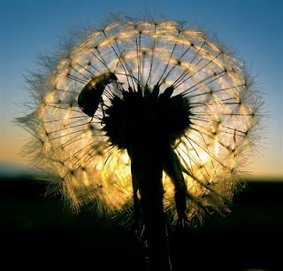 Beautiful Dandelion Flowers Pictures