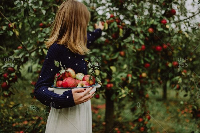 A woman picking apples in an apple orchard
