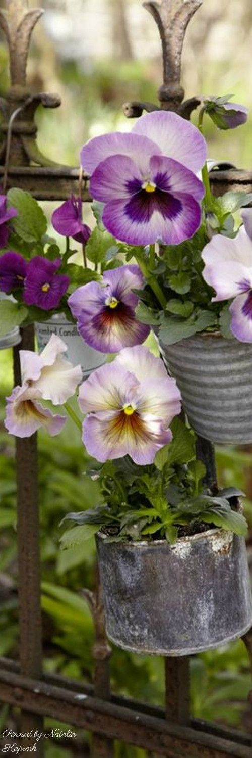 Pansies in metal cans on the fence                                                                                                                                                      More