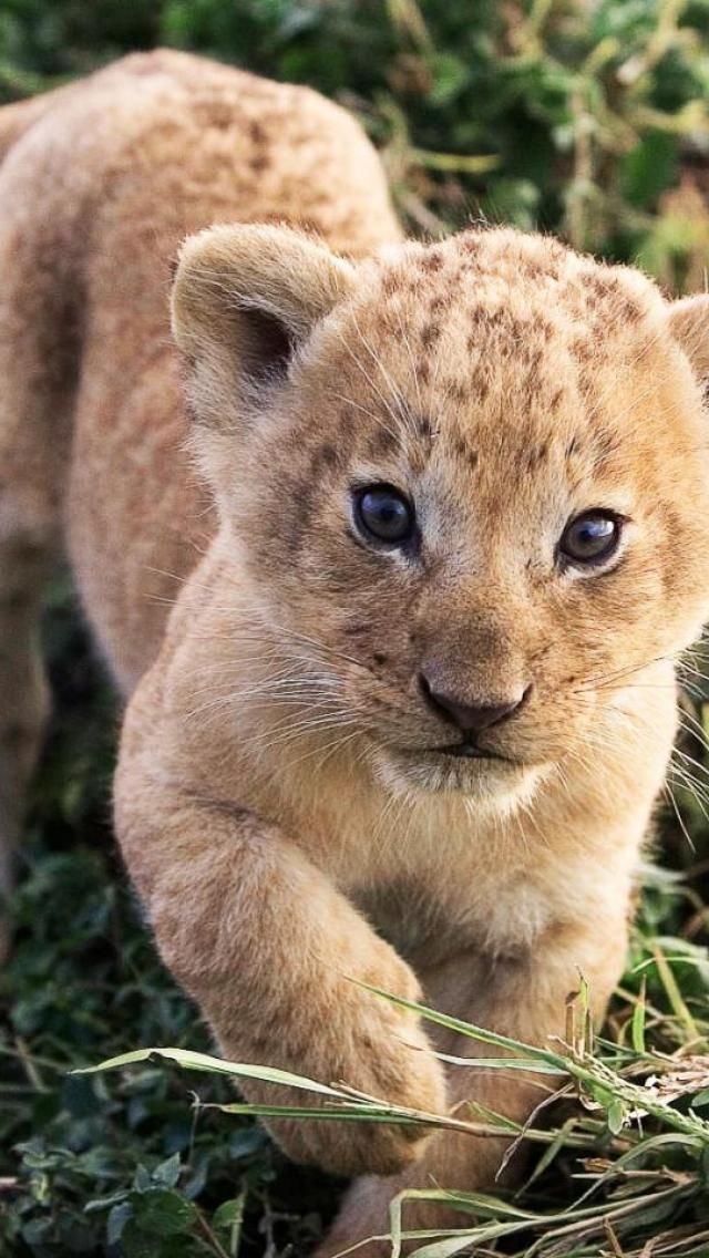 Lion Cub - totally adorable!