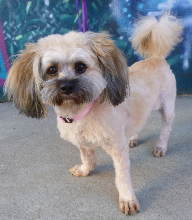 Lhasa Apso 2 Years Old 1000+ images ab...