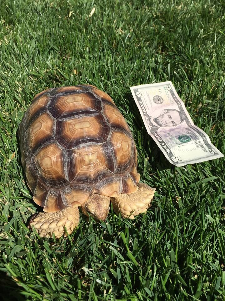 Sulcata tortoises can make excellent pet reptiles. Here's one of our's next to a five-dollar bill for scale. This one is just 30 months old.