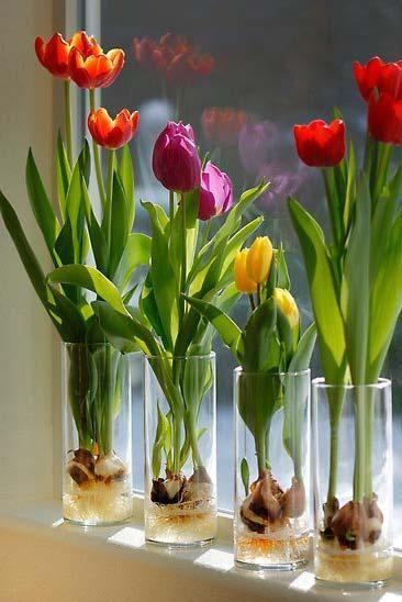 planting-happiness-urban-gardening-2013-grow-tulips-in-glass