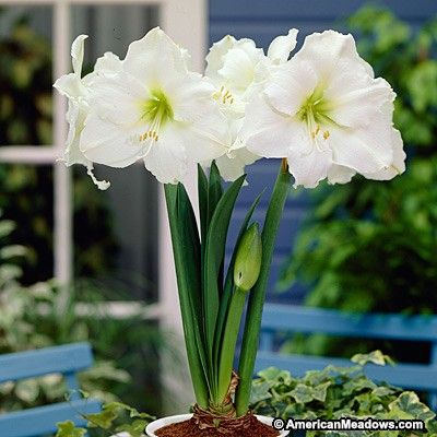 Christmas Gift Amaryllis Bulb, Hippeastrum - Amaryllis from American Meadows