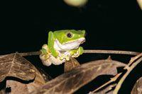 Varias especies de ranas de la Amazonia son tóxicas y su veneno es utilizado por los indígenes para impregnar sus flechas.