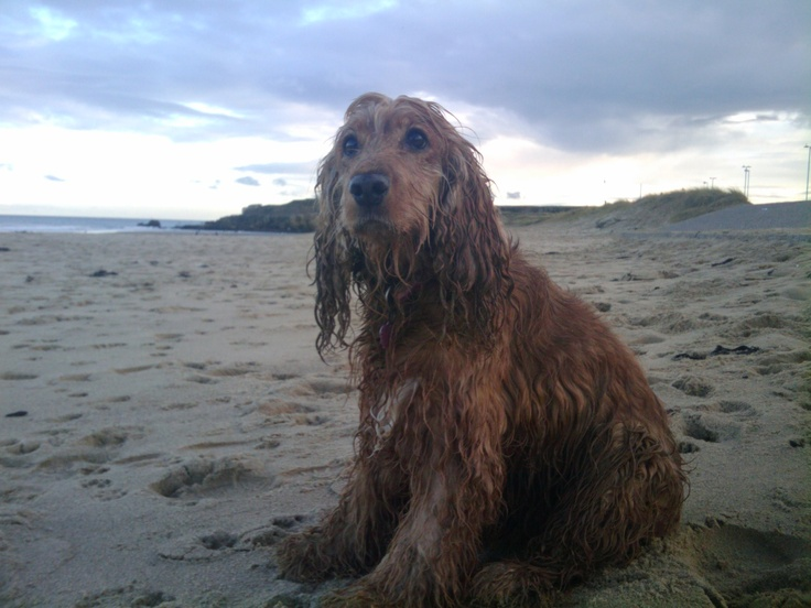 Cassie (our golden Cocker Spaniel dog) having a bit of beach time at South Shields.