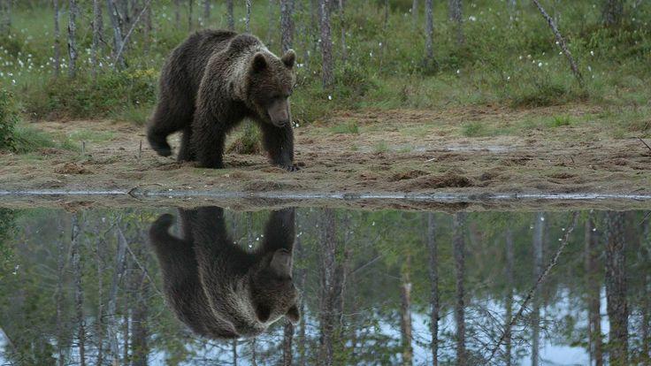 Karhu on kautta aikain kiehtonut ihmisten mieliä. Kuitenkin vain harva on nähnyt Suomen kansalliseläimen luonnossa.