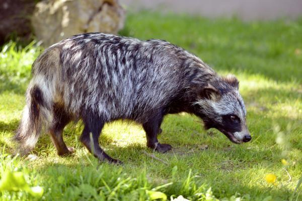 El perro mapache como mascota - ExpertoAnimal