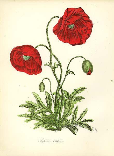 Plant Drawing Botanical Illustration Art Prints