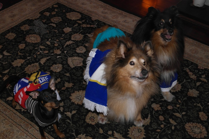Shelties and Mini pin supporting Cardiff City