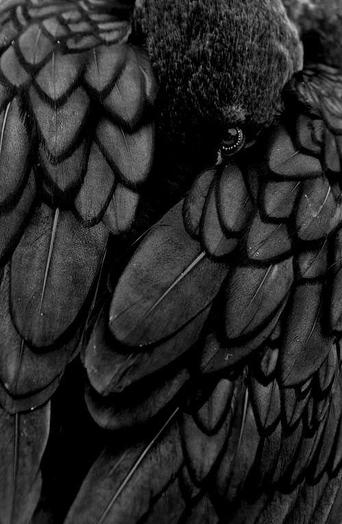 schwarzer Rabe versteckt sich im Federkleid